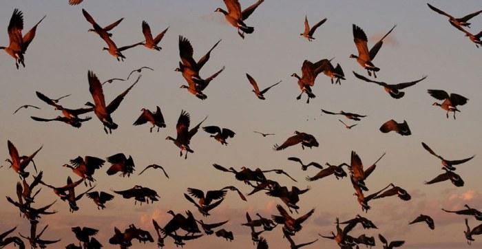 mistero-migrazione-degli-uccelli-scienza